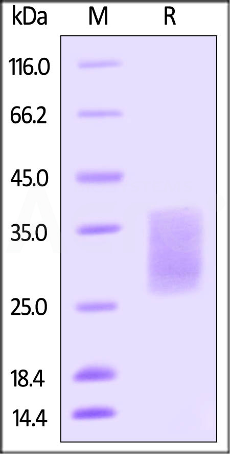 Biotinylated Human SCF, His Tag (Cat. No. SCF-H82E1) SDS-PAGE gel