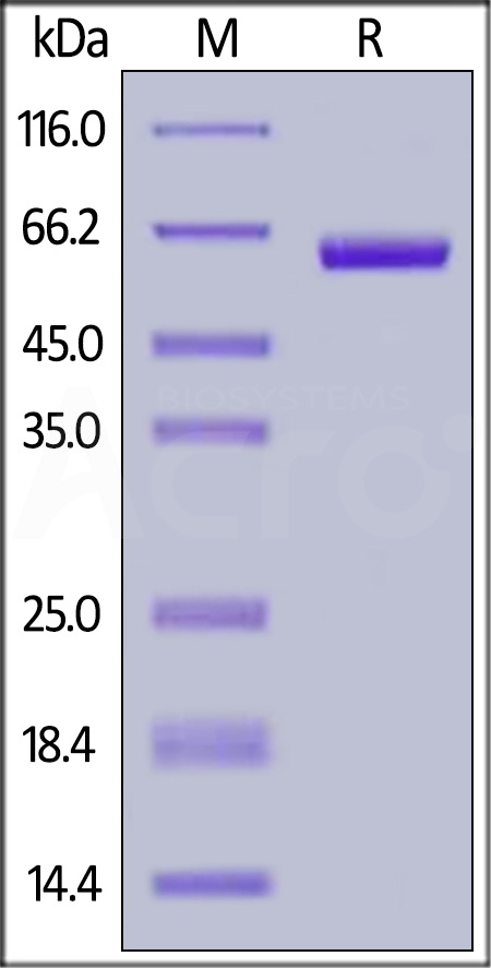 Biotinylated Human Siglec-15, Fc,Avitag (Cat. No. SG5-H82F5) SDS-PAGE gel