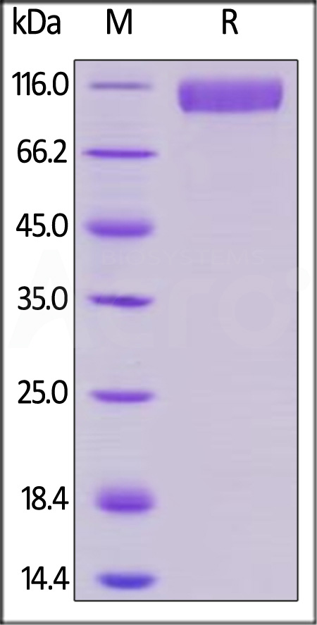 Human Siglec-10, Mouse IgG2a Fc Tag, low endotoxin (Cat. No. SI0-H525b) SDS-PAGE gel