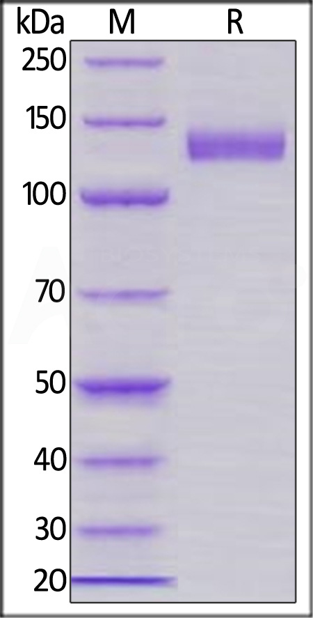 Human Siglec-2, Llama IgG2b Fc Tag, low endotoxin (Cat. No. SI2-H525a) SDS-PAGE gel