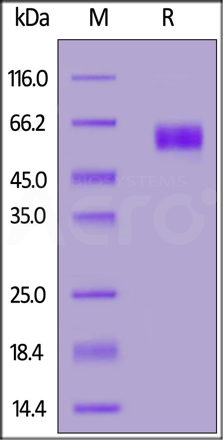 Biotinylated Human SIRP alphaV2, His,Avitag (Cat. No. SI2-H82W8) SDS-PAGE gel