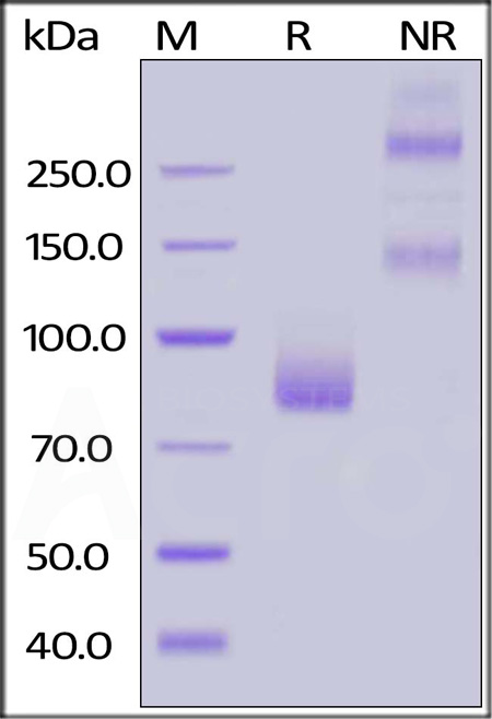 Human Siglec-6, Fc Tag (Cat. No. SI6-H5256) SDS-PAGE gel