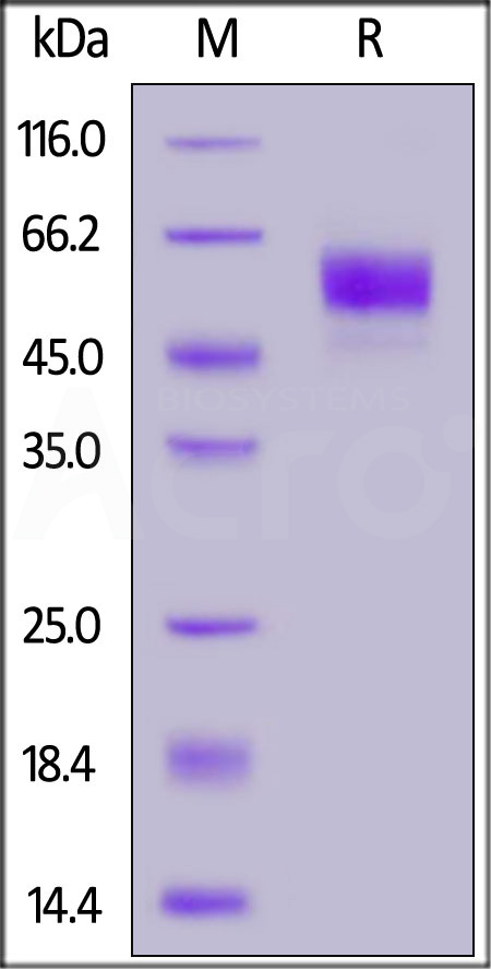 Biotinylated Human SIRP alphaV8, His,Avitag™ (Cat. No. SI8-H82W6) SDS-PAGE gel