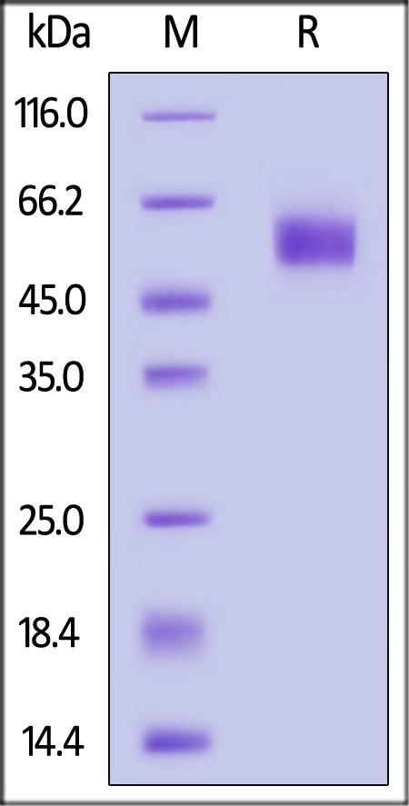 Cynomolgus SIRP alpha (Cat. No. SIA-C52H7) SDS-PAGE gel