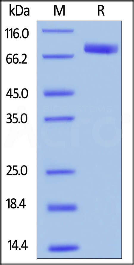 Human SIRP alpha, mouse IgG1 Fc Tag(HPLC-verified) (Cat. No. SIA-H52A8) SDS-PAGE gel