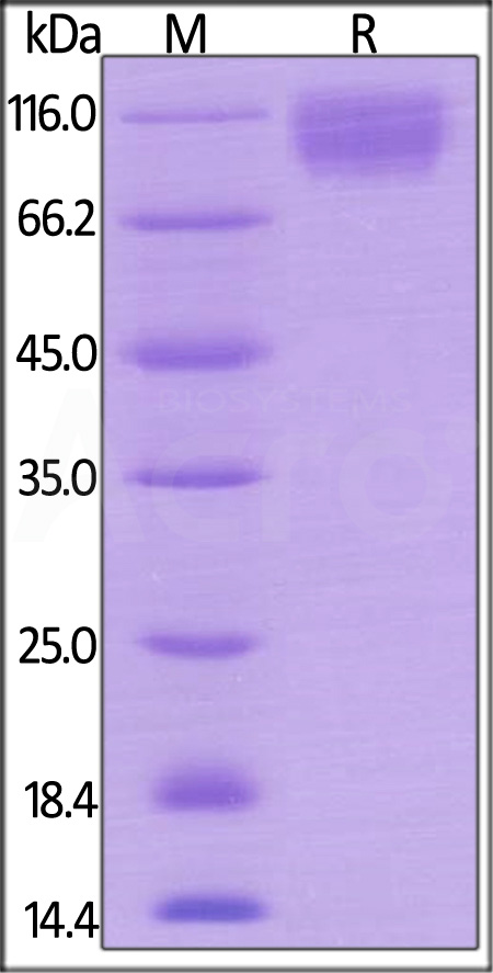 Mouse SIRP alpha, Mouse IgG2a Fc Tag, low endotoxin (Cat. No. SIA-M5252) SDS-PAGE gel