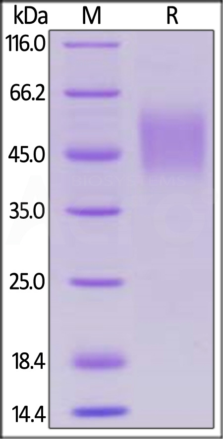 Biotinylated Human SLAMF1, His Tag, Avi Tag (Cat. No. SL1-H82E3) SDS-PAGE gel