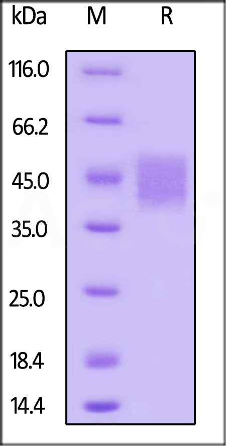 Biotinylated Human SLAMF7, Avitag,His Tag (Cat. No. SL7-H82E0) SDS-PAGE gel
