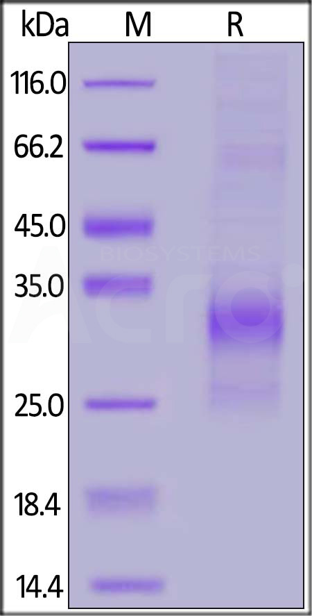 Biotinylated Human SOST (Cat. No. SOT-H8245) SDS-PAGE gel