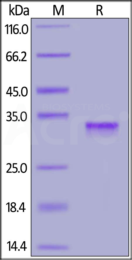 SARS-CoV-2 S protein RBD, His Tag (Cat. No. SPD-C52H1) SDS-PAGE gel