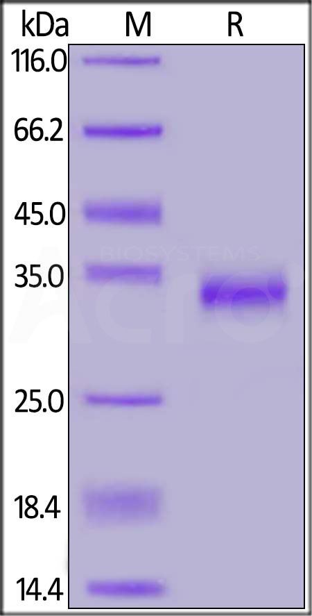 SARS-CoV-2 S protein RBD (G476S), His Tag (Cat. No. SPD-C52H4) SDS-PAGE gel