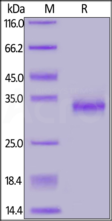 SARS-CoV-2 S protein RBD (V483A), His Tag (Cat. No. SPD-C52H5) SDS-PAGE gel