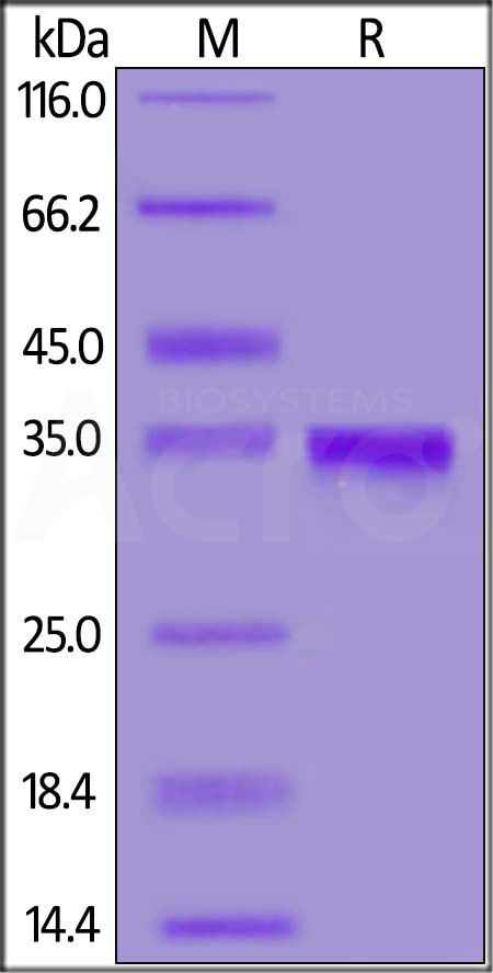 Biotinylated SARS-CoV-2 S protein RBD, His,Avitag (Cat. No. SPD-C82E9) SDS-PAGE gel