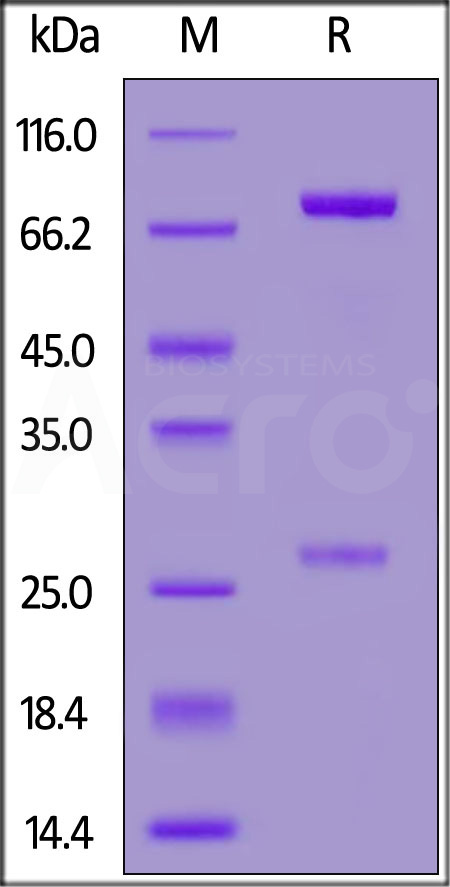 Anti-SARS-CoV-2 Spike RBD Neutralizing antibody, Human IgM (Cat. No. SPD-M162) SDS-PAGE gel