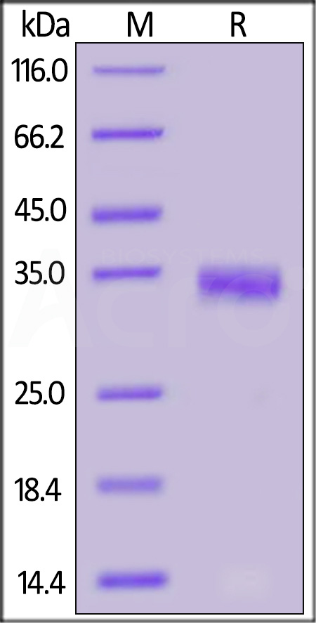 SARS-CoV-2 S protein RBD (N354D), His Tag (Cat. No. SPD-S52H5) SDS-PAGE gel