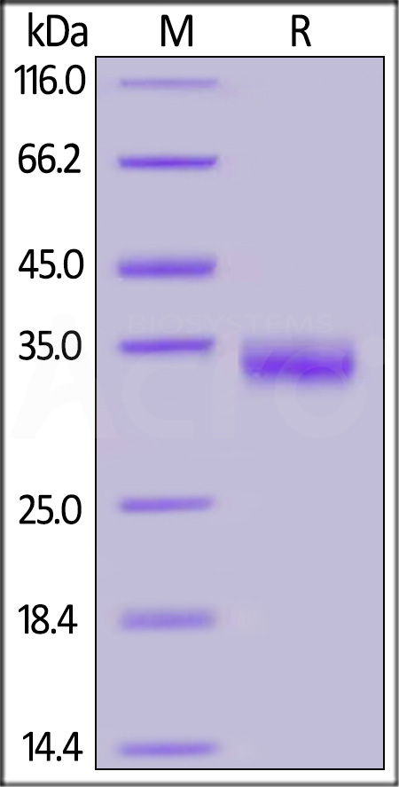 SARS-CoV-2 S protein RBD (R408I), His Tag (Cat. No. SPD-S52H8) SDS-PAGE gel