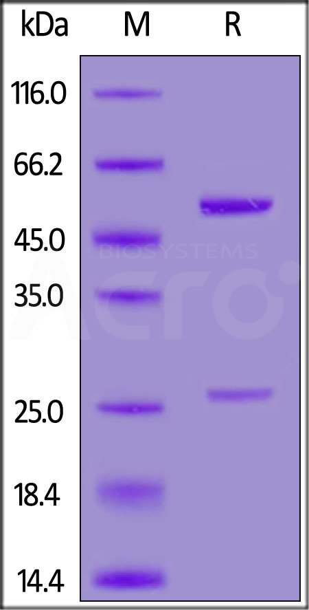Anti-SARS-CoV-2 Spike RBD Neutralizing Antibody, Human IgG2 (AS35) (Cat. No. SPD-S66) SDS-PAGE gel
