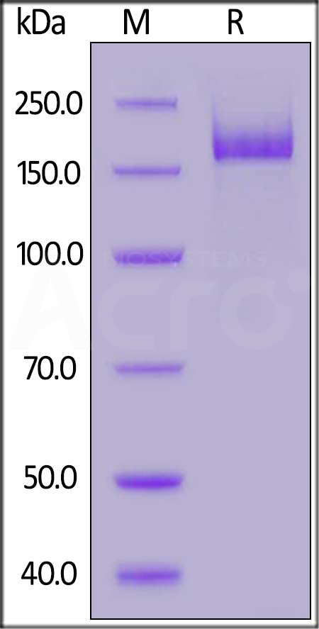 SARS-CoV-2 S protein (R683A, R685A), His Tag, active trimer (Cat. No. SPN-C52H8) SDS-PAGE gel