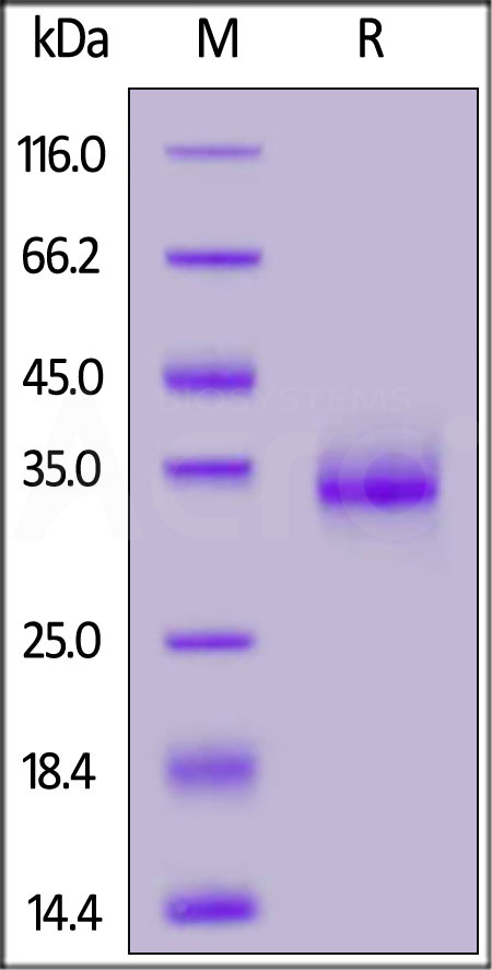 SARS-CoV-2 S protein RBD (E484K), His Tag (Cat. No. SRD-C52H3) SDS-PAGE gel