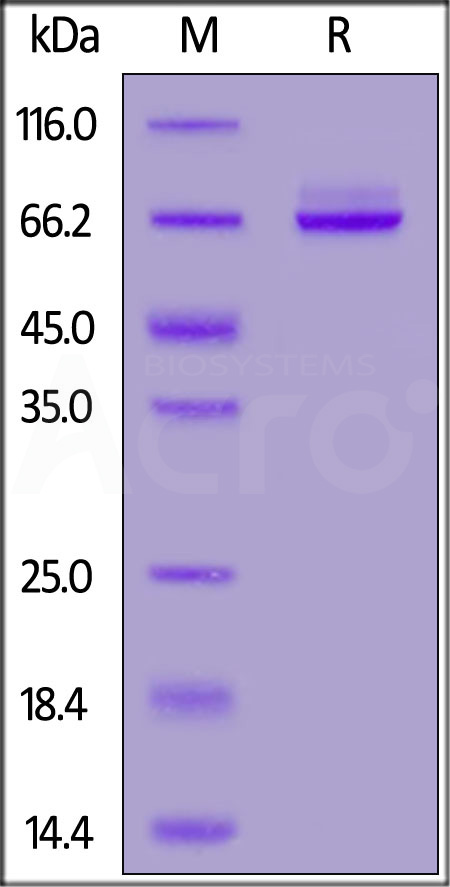 Biotinylated Human Syndecan-1, Fc,Avitag (Cat. No. SY1-H82F3) SDS-PAGE gel