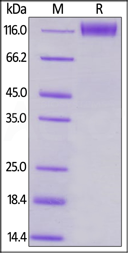 Human CD96, Mouse IgG2a Fc Tag, low endotoxin (Cat. No. TAE-H5252) SDS-PAGE gel
