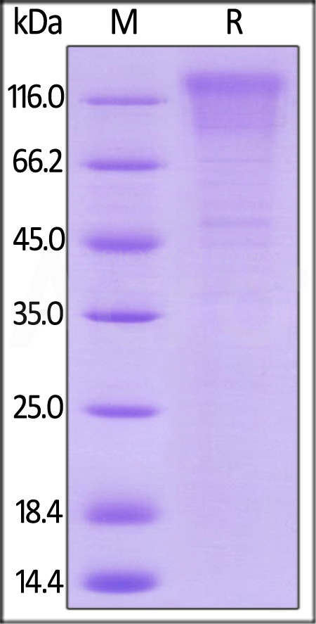 Biotinylated Human CD96, His Tag, Avi Tag (Cat. No. TAE-H82E3) SDS-PAGE gel