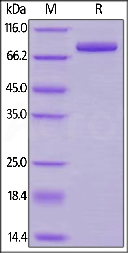 Cynomolgus Transferrin R (Cat. No. TFR-C524a) SDS-PAGE gel