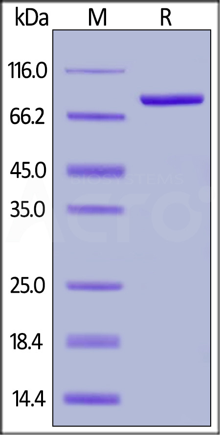 Biotinylated Human Transferrin R (Cat. No. TFR-H8243) SDS-PAGE gel