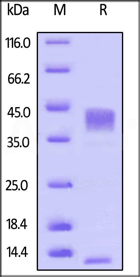 Human TGFB1, His Tag (Cat. No. TG1-H524x) SDS-PAGE gel