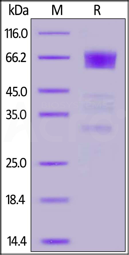 Human TIM-3, Fc Tag (Cat. No. TM3-H5258) SDS-PAGE gel