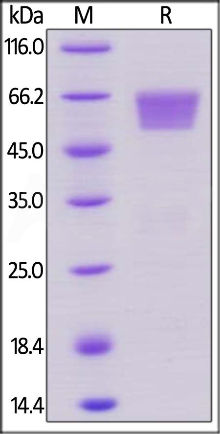 Human TIM-3, Mouse IgG2a Fc Tag, low endotoxin (Cat. No. TM3-H525b) SDS-PAGE gel