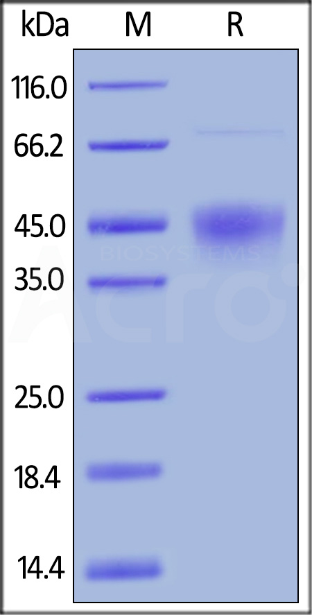 Biotinylated Human TIM-3 / HAVCR2, His Tag (Cat. No. TM3-H82E7) SDS-PAGE gel