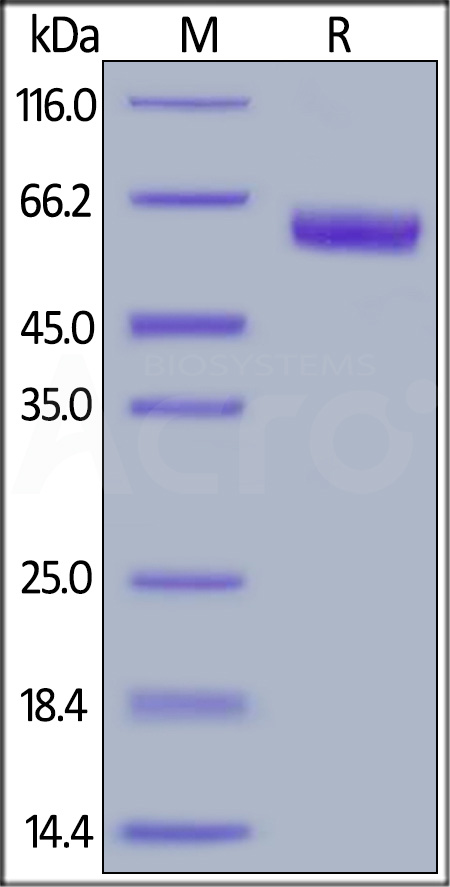 Human TNFR1, Fc Tag (Cat. No. TN1-H5251) SDS-PAGE gel