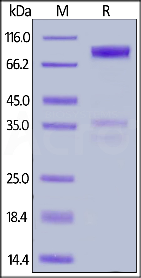 Human DR6, Fc Tag (Cat. No. TN1-H5252) SDS-PAGE gel