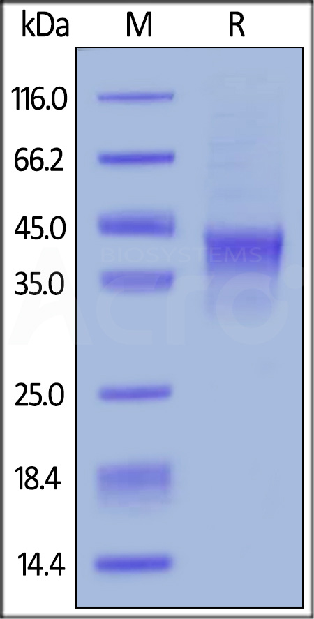 Biotinylated Human OX40 / TNFRSF4 / CD134, His Tag (Cat. No. TN4-H82E4) SDS-PAGE gel