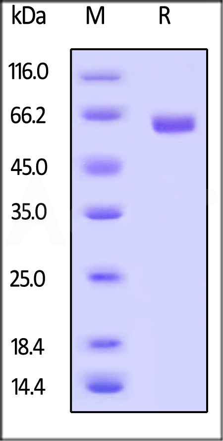 Biotinylated Human CD40, Fc,Avitag (Cat. No. TN5-H82F9) SDS-PAGE gel