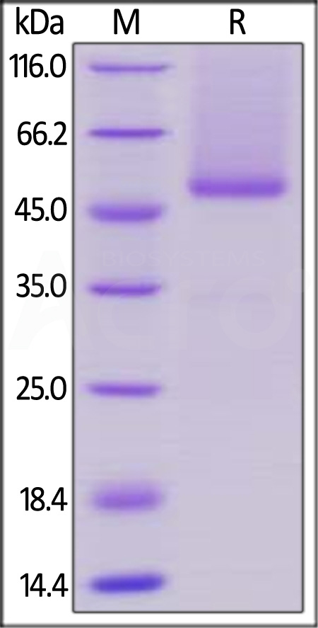 Human CD27 Ligand, Fc Tag (Cat. No. TN7-H526x) SDS-PAGE gel