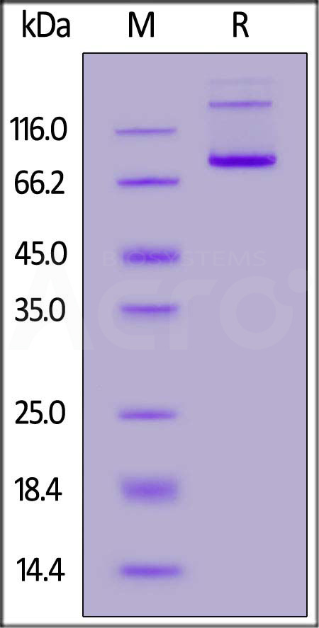 Biotinylated Human CD27 Ligand, Fc Tag (Cat. No. TN7-H82F4) SDS-PAGE gel