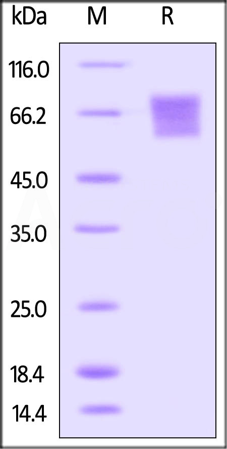 Biotinylated Human CD27, Fc Tag (Cat. No. TN7-H82F6) SDS-PAGE gel