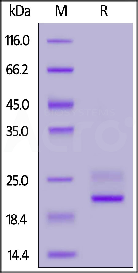 Biotinylated Mouse TNF-alpha Protein, His Tag (Cat. No. TNA-M82E9) SDS-PAGE gel