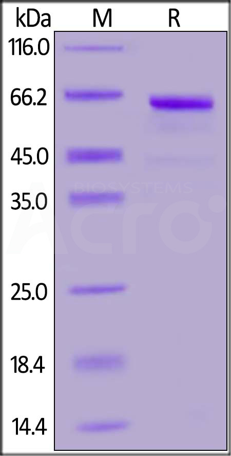 Human DcR3, Fc Tag (Cat. No. TNB-H5255) SDS-PAGE gel