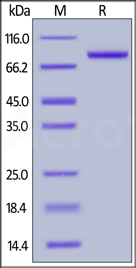 Human Osteoprotegerin, Fc Tag (Cat. No. TNB-H5259) SDS-PAGE gel