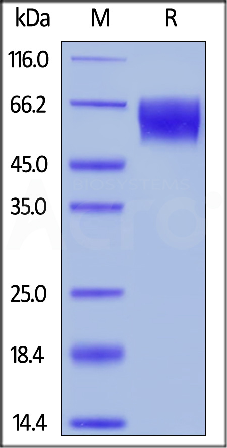 Unconjugated Human TPBG, His,Avitag (Cat. No. TPG-H52E5) SDS-PAGE gel