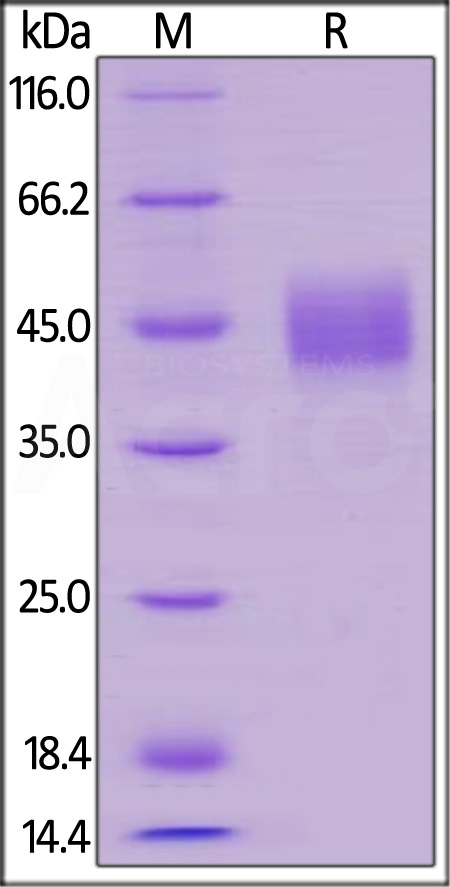 Human TROP-2 (Cat. No. TR2-H5223) SDS-PAGE gel