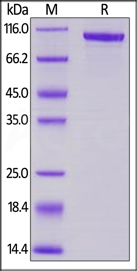 Mouse Transferrin, Mouse IgG2a Fc Tag, low endotoxin (Cat. No. TRN-M525b) SDS-PAGE gel