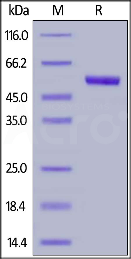Human TSLP (R127A, R130A), Mouse IgG2a Fc Tag (Cat. No. TSP-H5255) SDS-PAGE gel