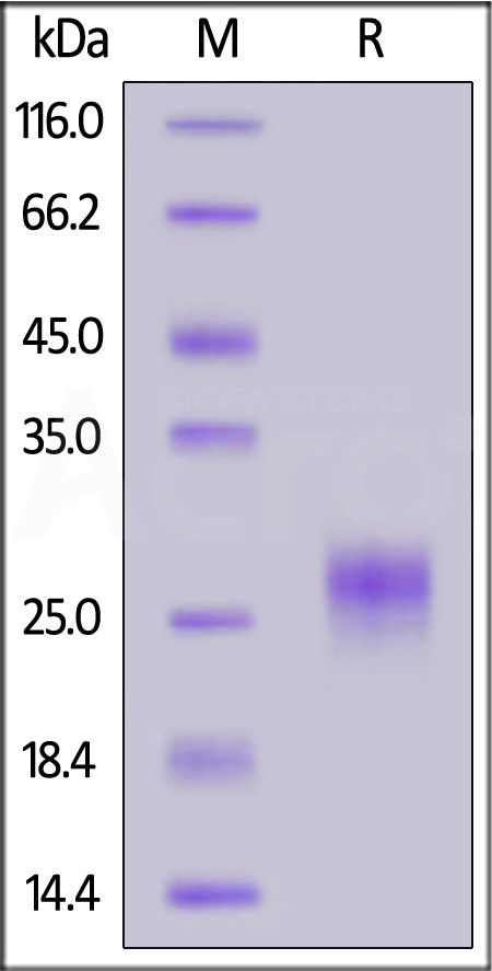 Human TSLP (R127A, R130A) (Cat. No. TSP-H52Ha) SDS-PAGE gel