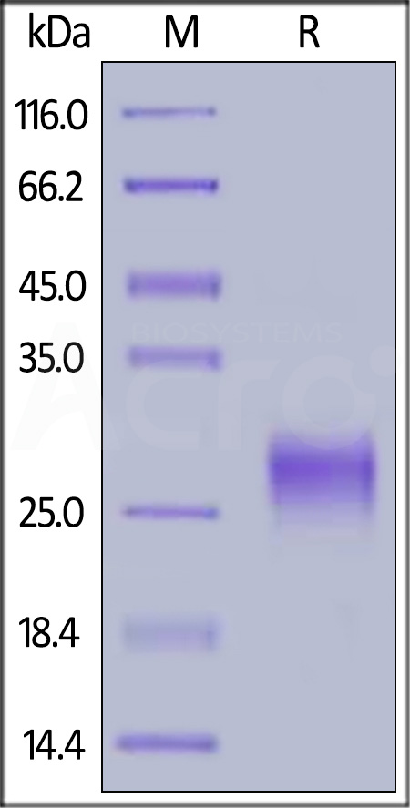 Biotinylated Human TSLP (R127A, R130A), His,Avitag (Cat. No. TSP-H82E0) SDS-PAGE gel