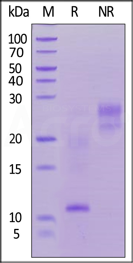 Biotinylated Human TSLP, His Tag, Avi Tag (Cat. No. TSP-H82Eb) SDS-PAGE gel