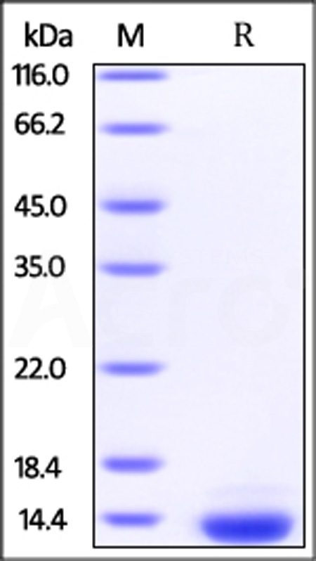 Human Thioredoxin-2, His Tag (Cat. No. TX2-H5141) SDS-PAGE gel